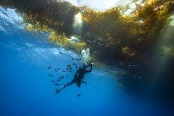 Photo : un homme plonge sous les sargasses