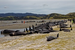 Picture of stranded dolphins in Northern Europe