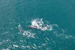 Une baleine et son petit au large du Cap Vert