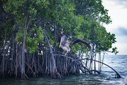 Mangrove with a bird