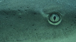 A close up on shark's head and his eyes