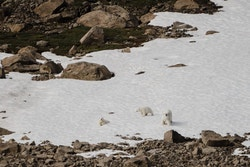 Picture of polar bears in the mountains
