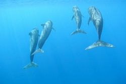 A picture of dolphins next to Energy Observer