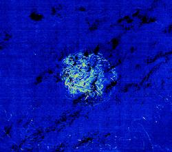 Photo d'un banc de sargasses aux larges des côtes américaines