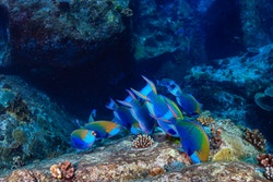 Picture of a group of fishes swimming in reefs