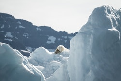 Picture of polar bears facing melting ice