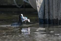 Un oiseau avec du plastique dans le bec sur une rivière